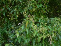 Syzygium anisatum - Aniseed myrtle has leaves that taste of liquorice