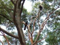 Black cokatoos in an Angophora