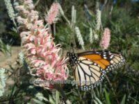 Butterfly Feeding On Nectar From A Grevillea Flower