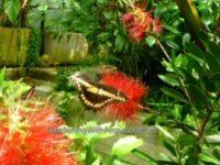 Butterfly on a Callistemon flower