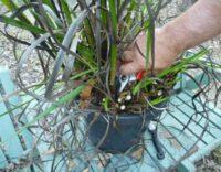 Cutting Away Old Growth On Kangaroo Paw