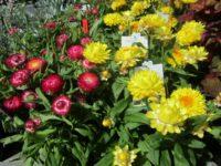 Everlasting daisies - xerochrysum