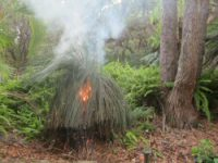 Xanthorrhoea on fire