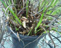 Old Kangaroo Paw Plant-Showing Fresh New Shoots