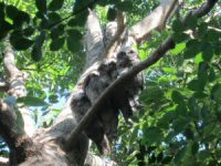 Tawny frogmouths in a red cedar tree