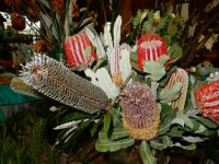 Mixed banksia flowers