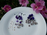 dianella and midgin berry seeds