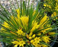 Conostylis bealiana 'Bright Sparks' originates from West Australia