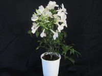 Pandorea jasminoides 'Wedding Bellz'