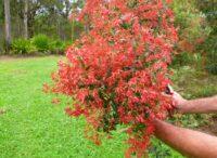 christmas bush ceratopetalum gummiferum