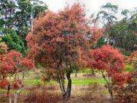 nsw christmas bush ceratopetalum gummiferum
