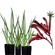 landscape-red-6-pack-kangaroo-paws