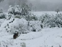 swamp-wallaby-in-the-snow