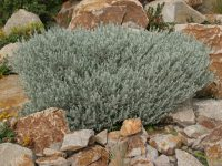 Eremophila glabra 'Silver Ball' is a compact australian shrub with grey foliage