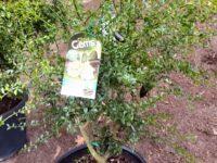 Citrus australasica native citrus finger lime 'D-Emerald'