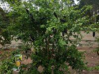 Citrus australasica native citrus 'Judy's Everbearing'
