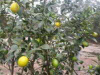 Citrus hybrid native citrus 'Sunrise Lime'