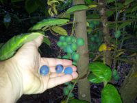 Davidsonia pruriens - Davidsons Plum fruit