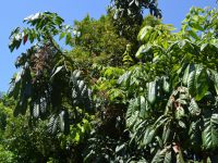 Davidsonia pruriens - Davidsons Plum has plum sized fruit