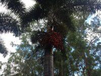 Wodyetia bifurcata - foxtail palm