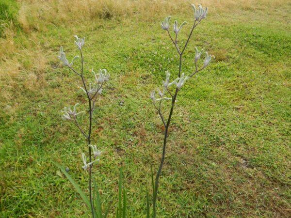 Anigozanthos flavidus - Landscape Violet is a good garden and landscaping plant