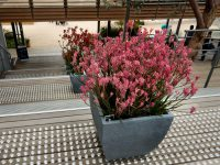 Potted Bush Pearl kangaroo paw