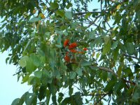 Eucalyptus miniata - Darwin Woollybutt