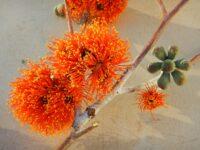 Eucalyptus miniata - woollybutt gum