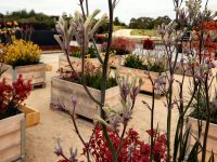 Landscape Violet in a display of mixed kangaroo paw varieties
