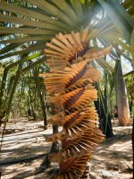 Pandanus spiralis - screw pine is a stunning plant that grows in australia's tropical top end