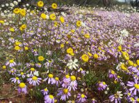 Wildflower meadow everlasting daisies in West Australia