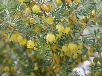 Boronia purdieana -yellow boronia