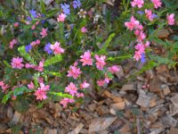Boronia serrulata - native rose has exquisitely perfumed flowers