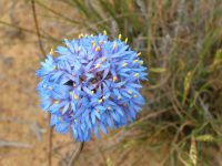 Brunonia australis - blue pincushion flower is also known as Australian native cornflower
