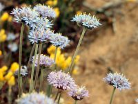 Brunonia australis - blue pincushion flower