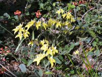 Caladenia flava - cowslip orchid