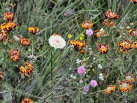 West Australian wildflowers