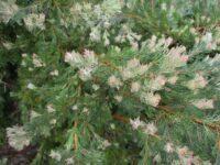 Adenanthos x cunninghamii - Albany woollybush has lovely foliage