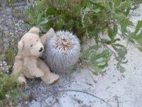 Banksia baueri - teddy bear banksia