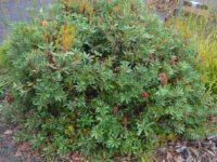 Banksia paludosa 'Little Pal'