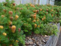 Banksia spinulosa 'Coastal Cushion'