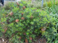 Banksia spinulosa hairpin banksia 'Coastal Cushion is a good low growing Australian shrub
