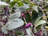 Callicarpa pedunculata - velvet leaf has bird attracting berries