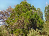 Callitris columellaris - white cypress pine