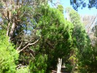Callitris rhomboidea - Oyster Bay pine