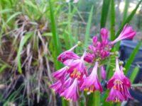 Calostemma purpureum - garland lily