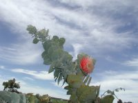 Eucalyptus macrocarpa - mottlecah
