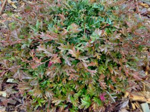 Grevillea gaudichaudii is a superb Australian ground cover plant