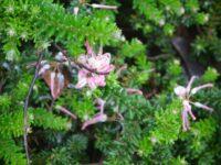 Grevillea lanigera 'Mt Tamboritha'