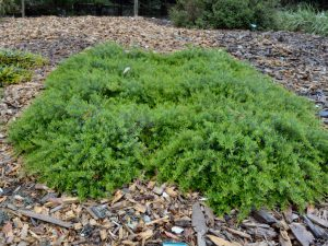 Grevillea obtusifolia 'Gin Gin Gem' is a superb ground cover australian plant